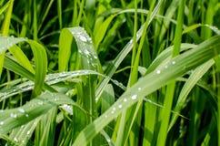 Grama verde fresca da mola com gotas de orvalho Fotografia de Stock