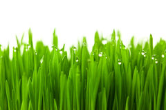 Grama verde fresca do trigo com orvalho das gotas Imagem de Stock