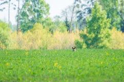 Grama verde fresca no campo e na cabeça de uma raposa que espreitam para fora foto de stock royalty free