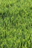 Grama verde fresca para o fundo imagem de stock