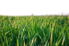 Grama verde, fundo branco fotografia de stock royalty free