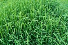 Grama verde Fundo da grama verde imagens de stock