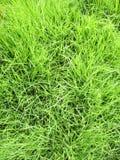 Grama verde - fundo real da grama verde Fotografia de Stock