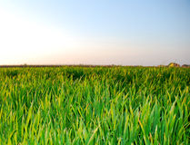 Grama verde, grama fresca foto de stock royalty free