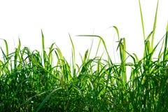 Grama verde isolada no fundo branco Fotos de Stock Royalty Free