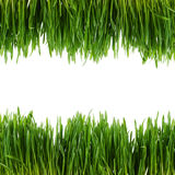 Grama verde isolada no fundo branco fotografia de stock royalty free