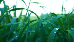 Grama verde lux?ria com gotas de orvalho filme