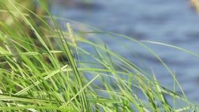 Grama verde na beira do lago contra a água filme