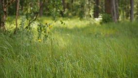 Grama verde na floresta - árvores coníferas do verão vídeos de arquivo