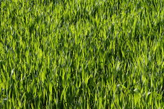 Grama verde natural Fotografia de Stock