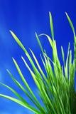 Grama verde no azul foto de stock royalty free