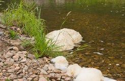 Grama verde no banco do rio Imagem de Stock