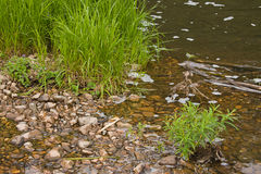 Grama verde no banco do rio Fotos de Stock Royalty Free