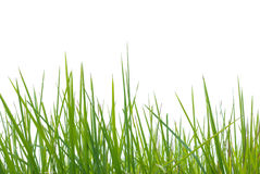 Grama verde no branco Imagens de Stock