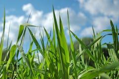 Grama verde no céu azul Fotografia de Stock Royalty Free