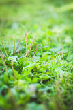 Grama verde no fundo verde Foco seletivo Imagens de Stock