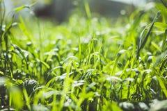 Grama verde no fundo verde Foco seletivo Foto de Stock