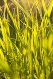 Grama verde no luminoso Fotografia de Stock