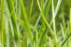 Grama verde no pasto na exploração agrícola alimentação da vaca fotos de stock royalty free