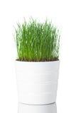 Grama verde no potenciômetro branco fotografia de stock