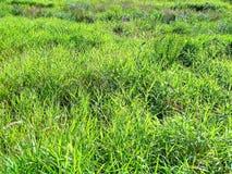 Grama verde no prado, diversidade da natureza do verão, fotografia de stock