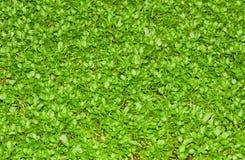Grama verde real Fotografia de Stock Royalty Free