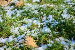 Grama verde sob a neve Fotografia de Stock