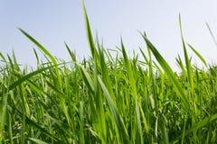 Grama verde sobre um céu azul Imagem de Stock Royalty Free