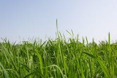Grama verde sobre um céu azul Fotografia de Stock