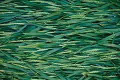 Grama verde vívida e fundo sem emenda do verão dos pontos Vista superior imagens de stock