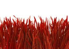 Grama vermelha no fundo branco Fotografia de Stock Royalty Free