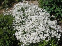 Gramado com as flores brancas da mola imagens de stock royalty free