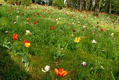 Gramado com tulipas Imagem de Stock