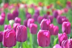 Gramado de tulipas cor-de-rosa roxas, close-up, em um dia ensolarado imagens de stock