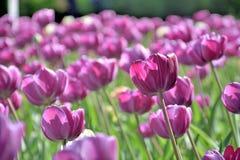 Gramado de tulipas roxas, close-up, em um dia ensolarado foto de stock