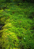 Gramado do musgo verde fresco na floresta Fotografia de Stock Royalty Free
