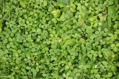 Gramado do trevo da grama verde fotos de stock