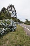gramado hortensias brazylijskie Zdjęcia Stock