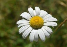Gramado inglês Daisy Flowering em um dia de verão imagem de stock royalty free