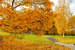 Gramado no parque coberto nas folhas de bordo amarelas Autumn Landscape Foto de Stock Royalty Free