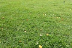 Gramado segado com as folhas caídas do vidoeiro fotos de stock