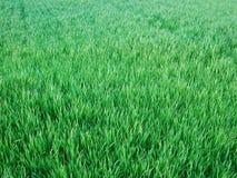 Gramado verde Foto de Stock Royalty Free