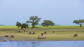Gramar dos búfalos de água Fotos de Stock