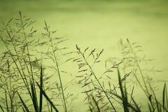 Gramas altas na costa do lago borrado da floresta Fotos de Stock