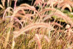Gramas da flora que fundem no vento fotografia de stock