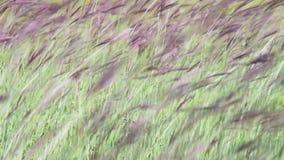 Gramas de prado no campo que balança no vento vídeos de arquivo