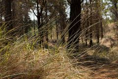 Gramas nativas que crescem entre pinheiros Imagem de Stock Royalty Free