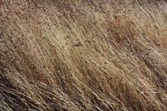 Gramas secas de Brown que derivam no vento Fotografia de Stock Royalty Free