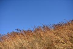 Gramas secas de Brown que derivam no vento Imagens de Stock Royalty Free