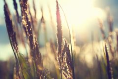 Gramas selvagens em uma floresta no por do sol Foto de Stock